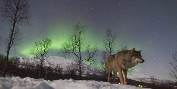lobo aurora