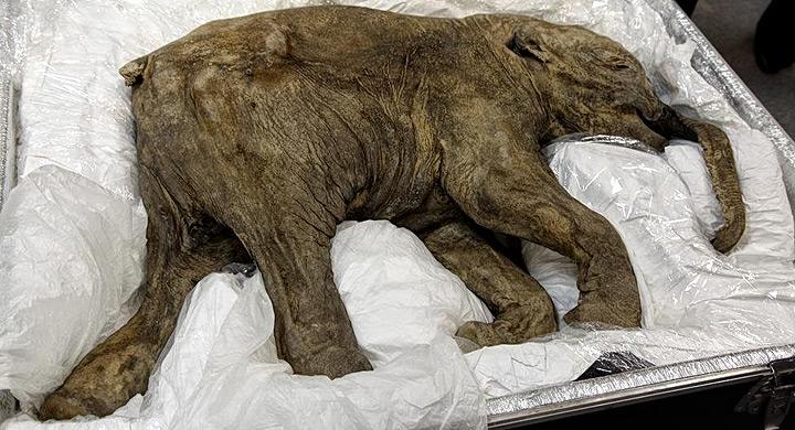 Mamut bebé encontrado en Siberia