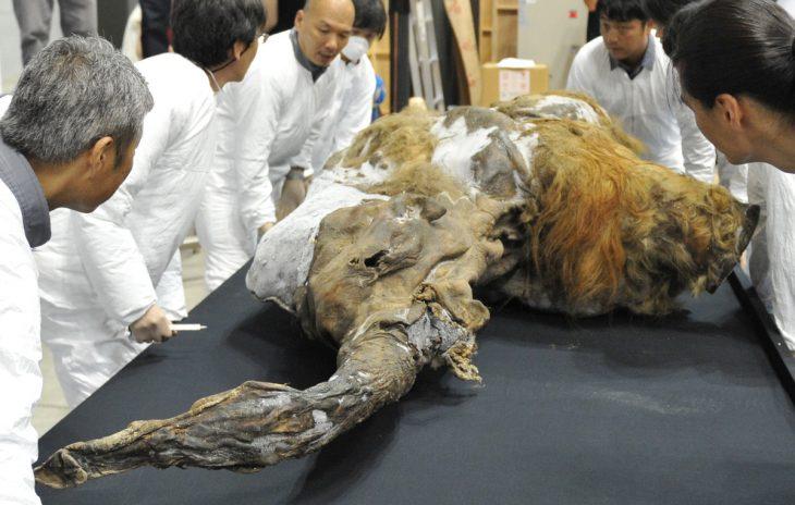 Estudian restos de mamut