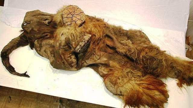 Mamut intacto, encontrado en Siberia
