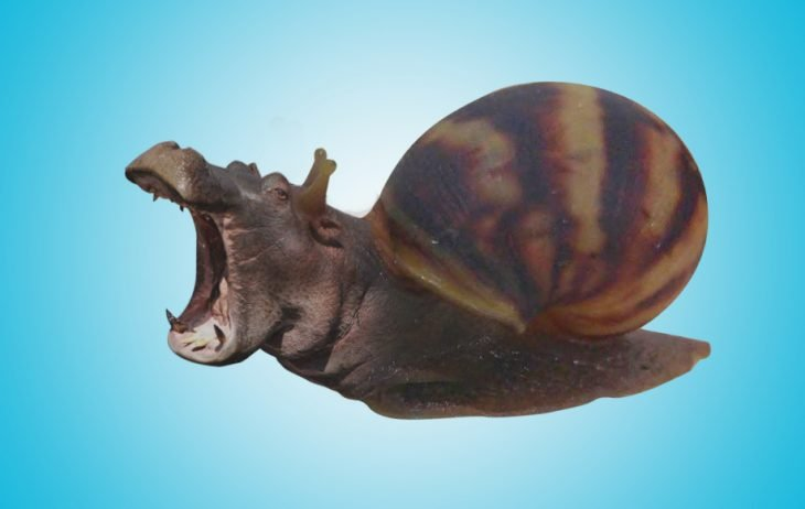 hippo caracol