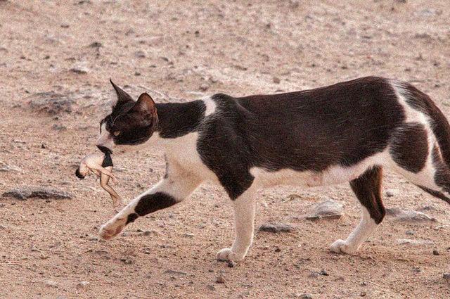 gato calzon chino