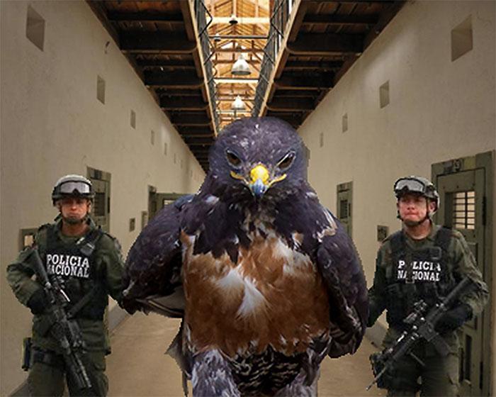 halcon prisionero