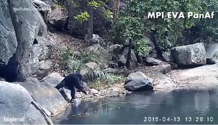 chimpance ocon vara