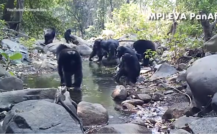 chimpances rio