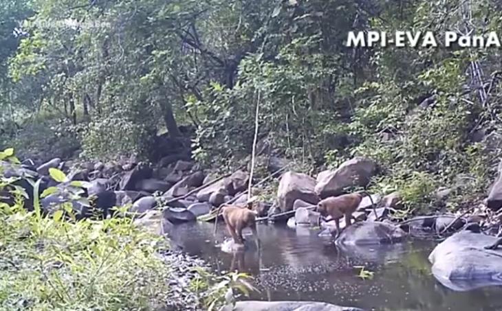 monos en rio