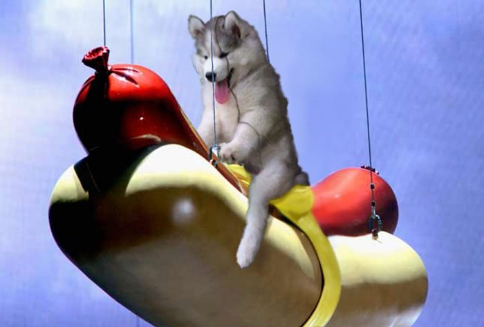 hot dog husky PS