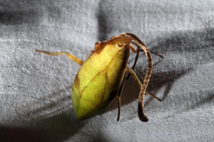 araña hoja