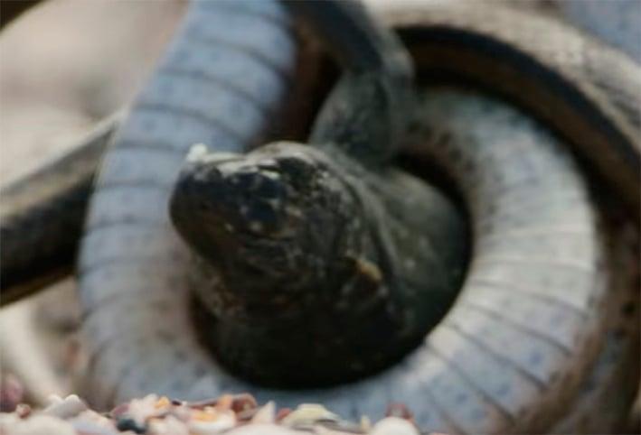 Detrás de cámaras video de la iguana de la BBC
