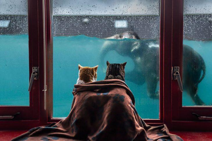 Pareja de gatos en Batalla de Photoshop