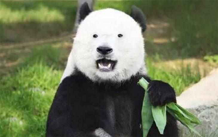 Panda sin manchas en los ojos