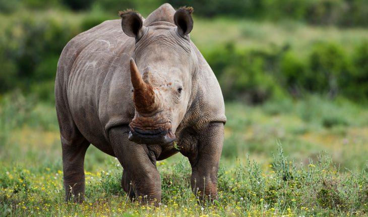 Rinoceronte en la pradera