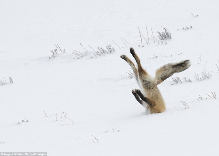 Zorro enterrado en la nieve