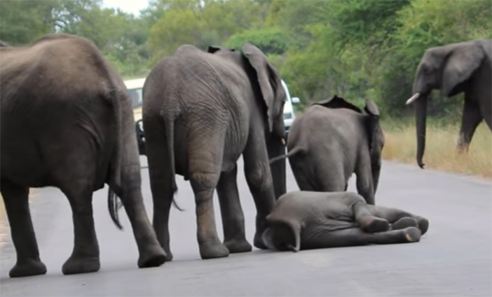 Elefantes en carretera