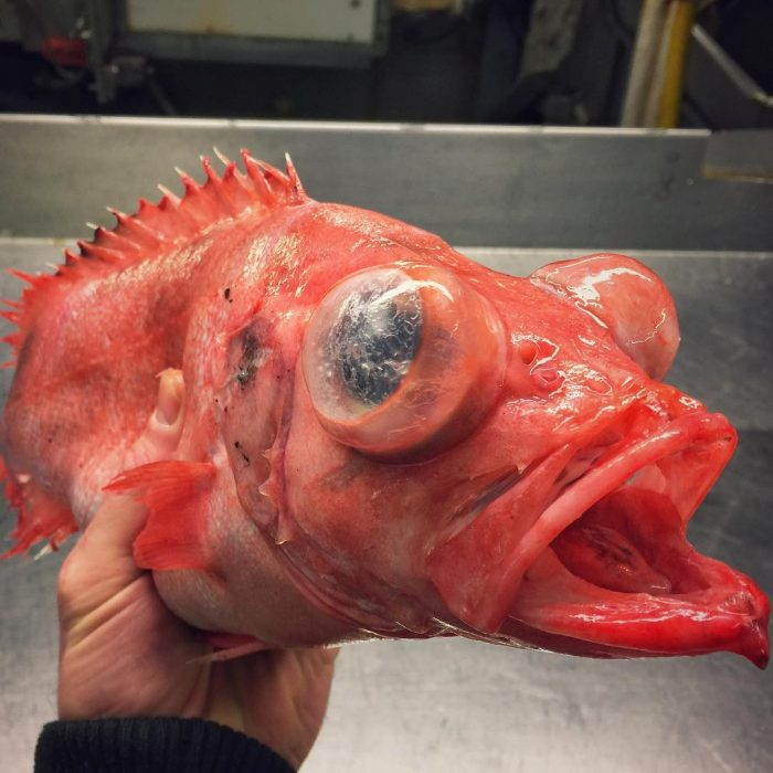pez ruso aguas profundas