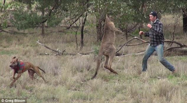 canguro peleando