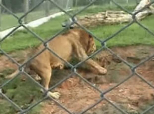 León de circo liberado