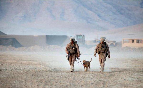 Perros militares en desierto