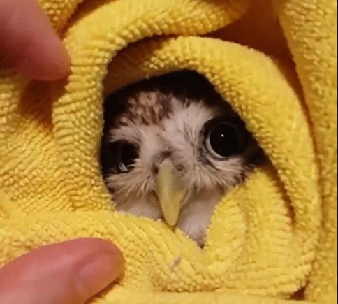 Búho envuelto en manta