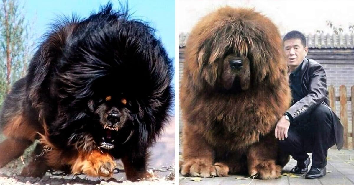 El Perro M 225 S Caro Del Mundo El Mast 237 N Tibetano Es Abandonado