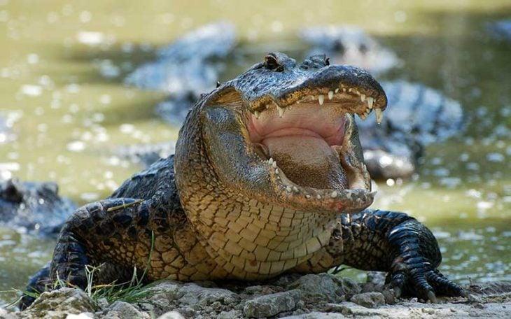 Feroz cocodrilo