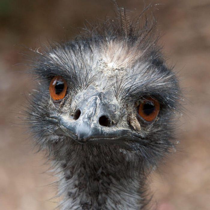Emú grande cabeza