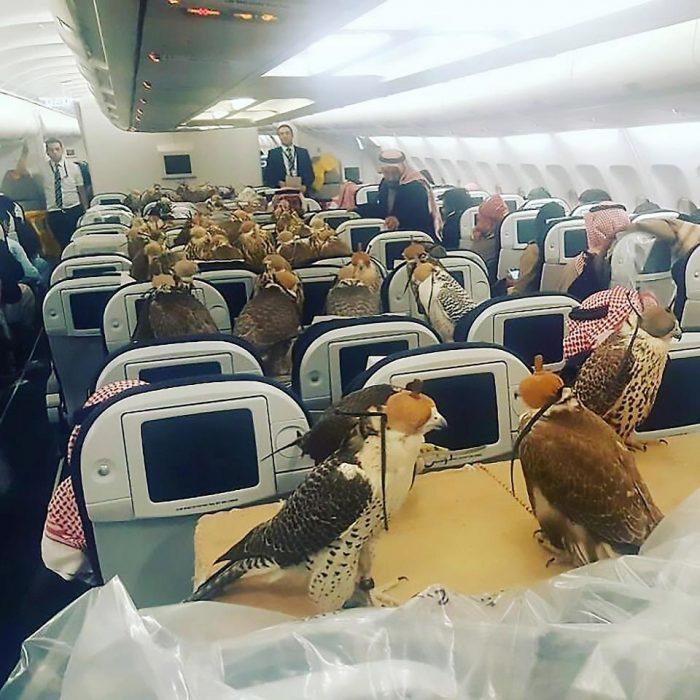 Halcones viajando en un avión