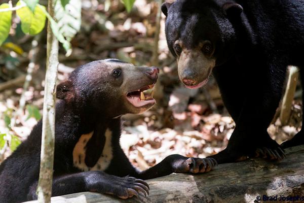 osos malayos