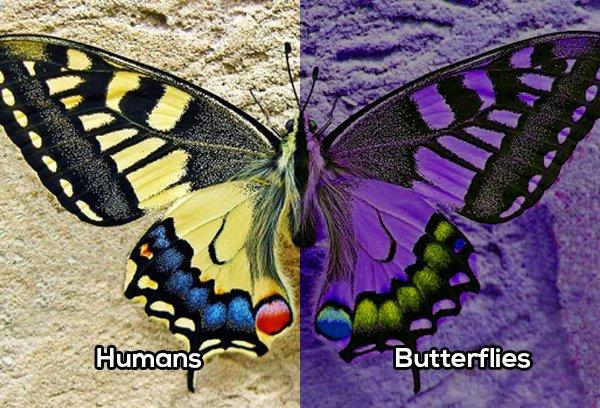 Mariposa comparación vista con el humano