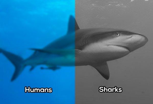 Tiburones comparación vista con el humano
