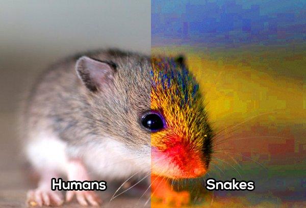Raton visto por serpiente comparación vista con el humano