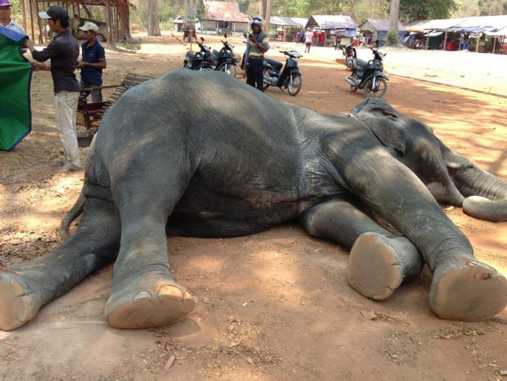 elefante muerto angkor