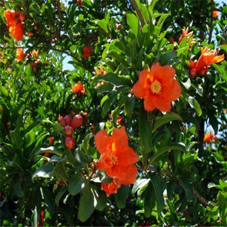 granada flor