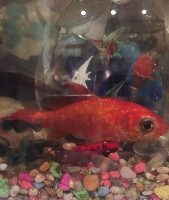 pez dorado