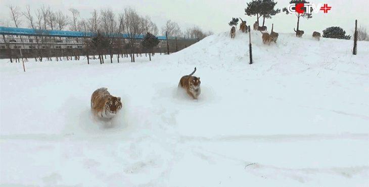 tigres corriendo