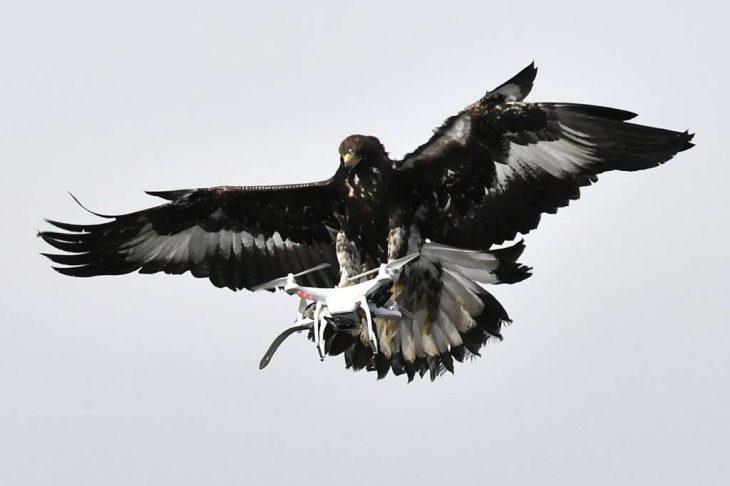 Aguila en vuelo contra drone