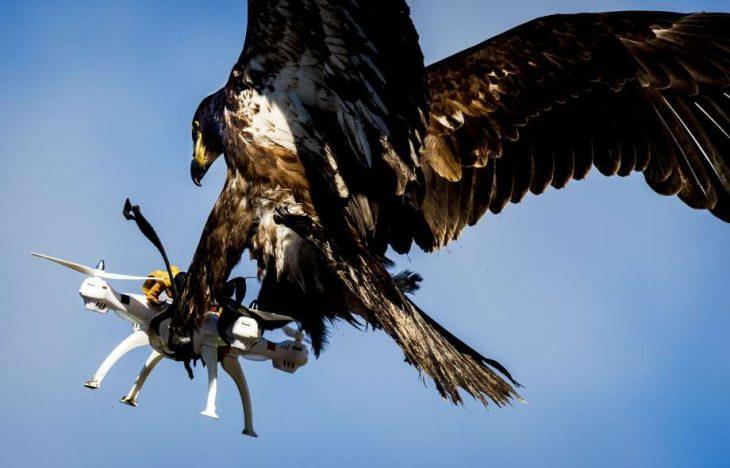 Águila vs drone