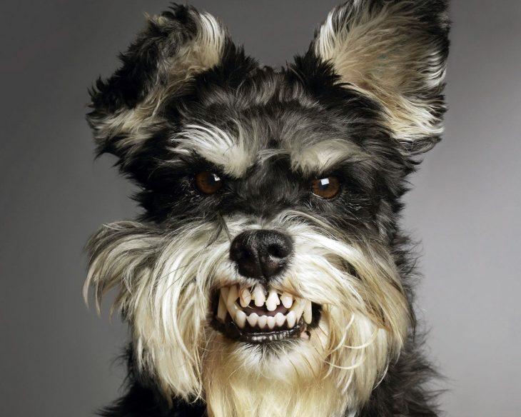 Perro pela dientes
