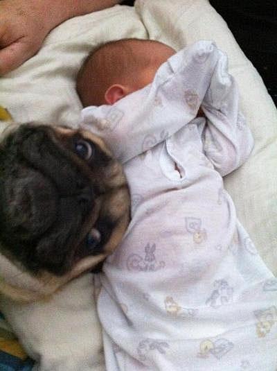 pug y bebe