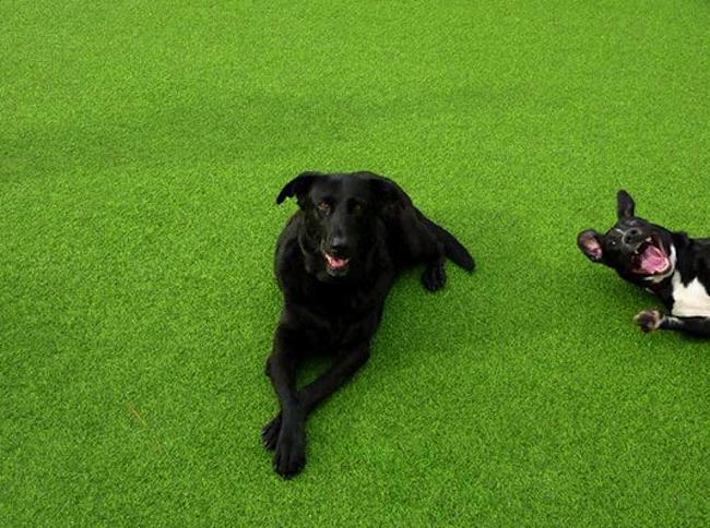 perros en pasto