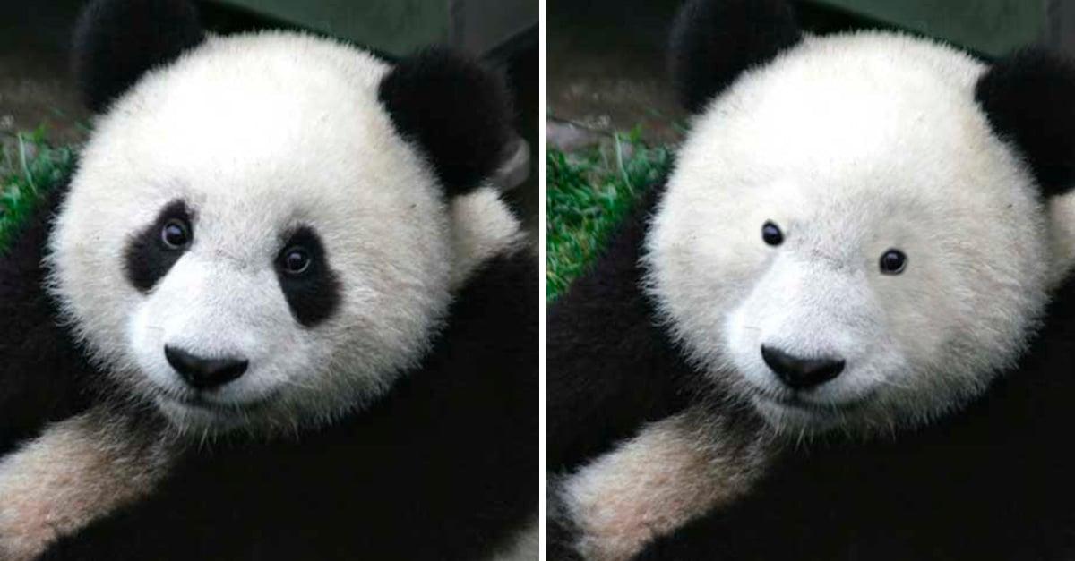 Muitas vezes Esta es la razón de los parches en los ojos de los pandas UZ53