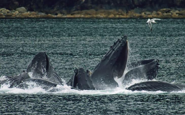 Ballenas jorobadas se están organizando y nadie sabe por qué