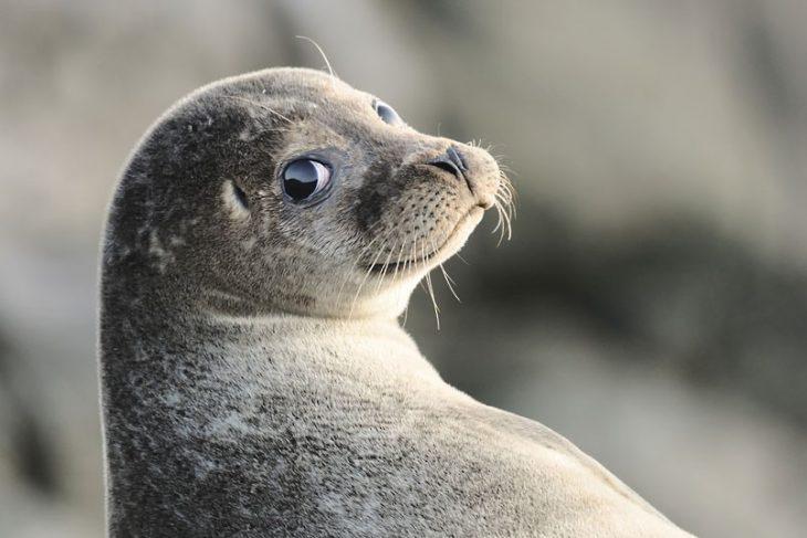 foca socarrona