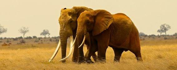 elefantes tusker