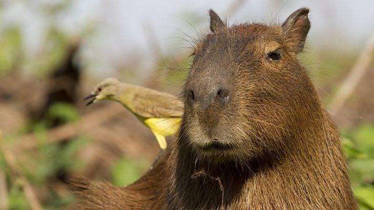 Capibara es el típico amigo que le cae bien a todos