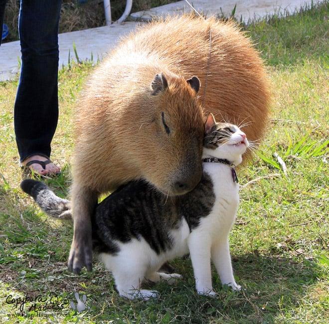 Capibara el animal más amistoso