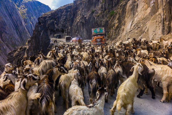 Zoji La india camino con cabras