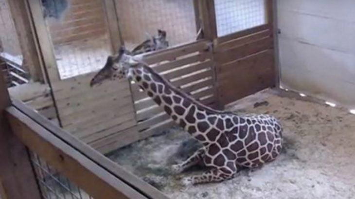 jirafa April da a luz