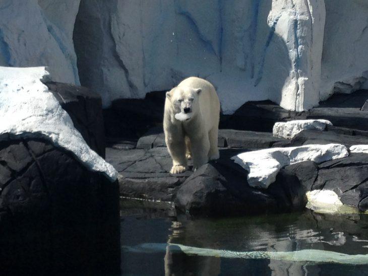 muere de tristeza oso polar Szenja