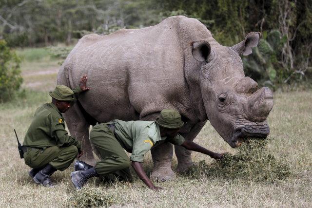 Sudán, el rinoceronte blanco